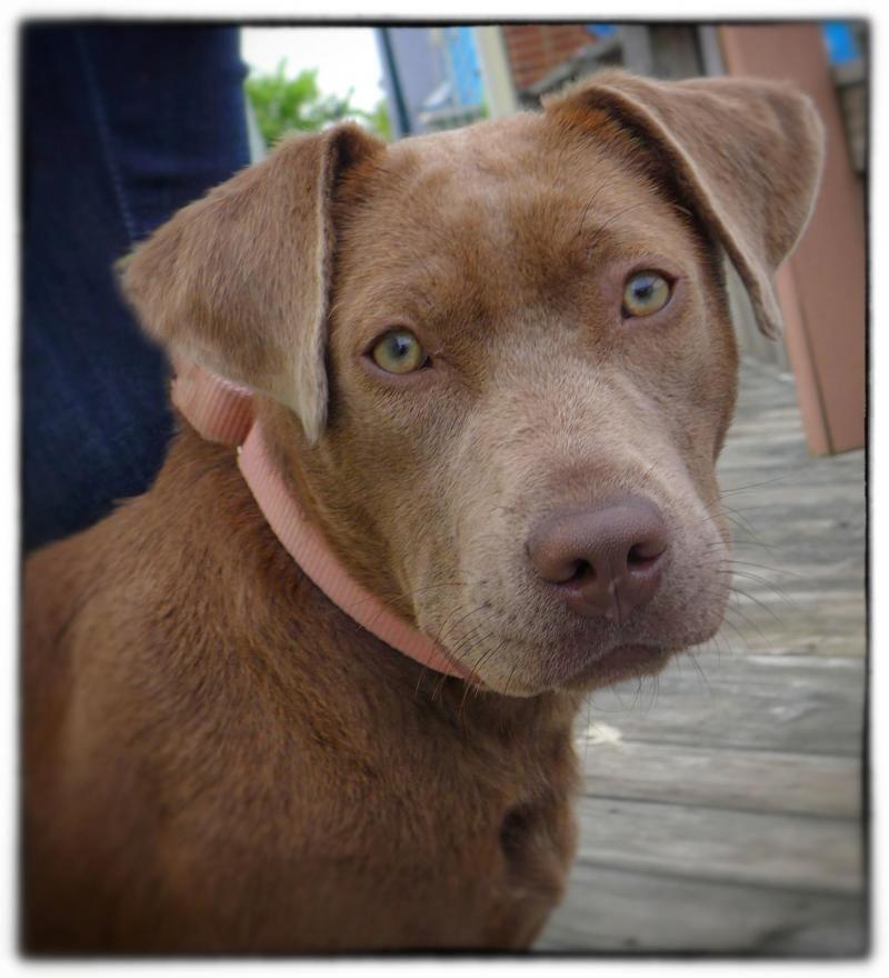 Adopt Sara On Labrador Retriever Dog Retriever Dog I Love Dogs