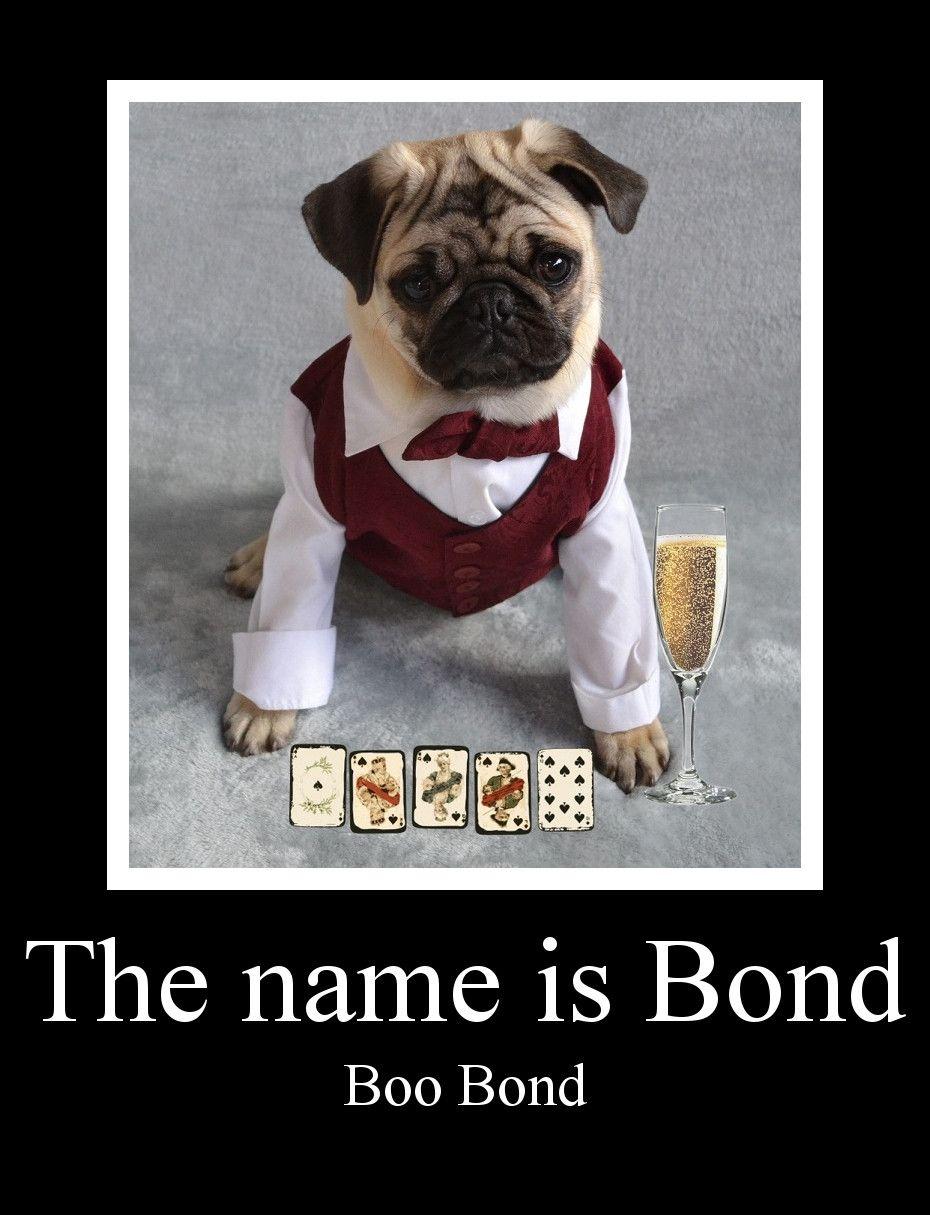 Funny Pug Dog Meme Lol James Bond Parody Pug Puppy Jamesbond