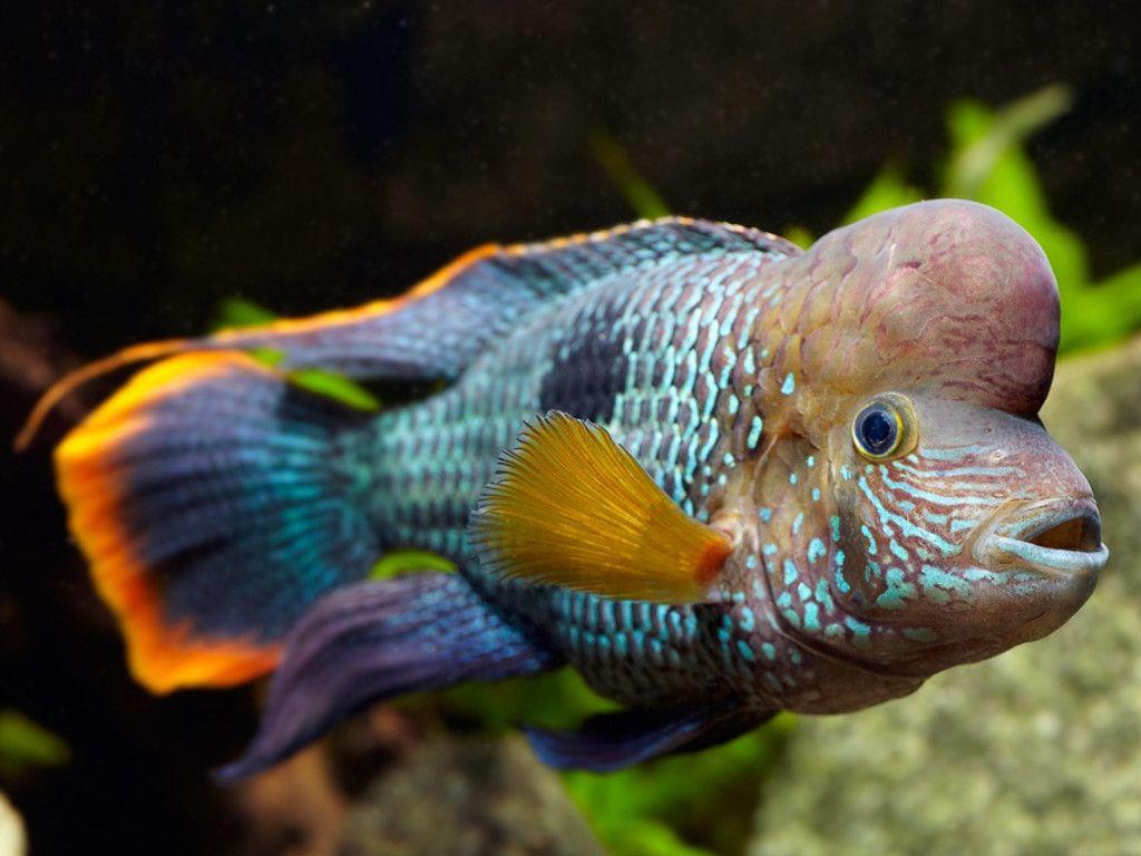 Green Terror Cichlids Freshwater Aquarium Fish Fish
