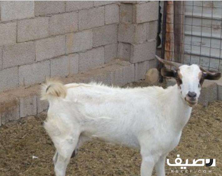 معزاء بيشي للبيع Animals Goats