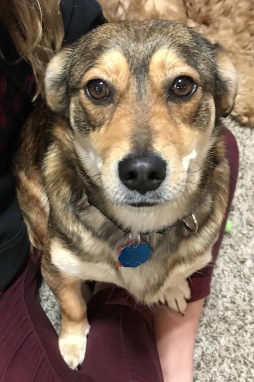 Juju Is An Adoptable Corgi Searching For A Forever Family Near Mankato Mn Use Petfinder To Find Adoptable Pets In Your Area Pets Kitten Adoption Pet Adoption