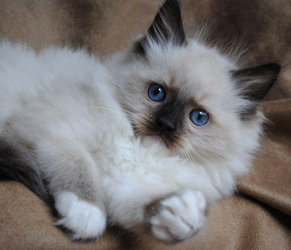 Blue Gem Ragdoll Photo Gallery Photos Of Ragdoll Cats And Kittens Pretty Cats Ragdoll Cat Beautiful Cats