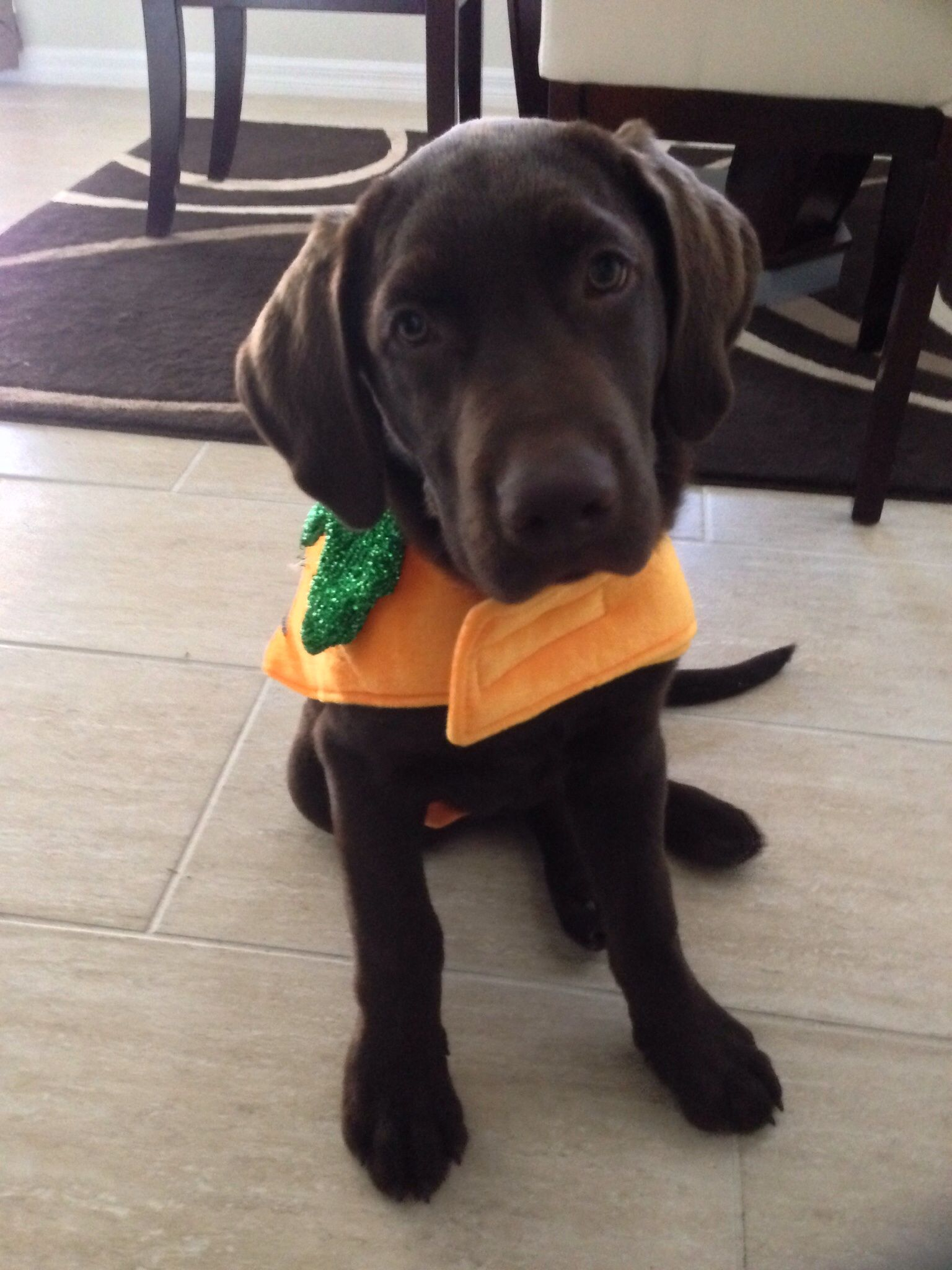 my chocolate lab in his pumpkin halloween costume - Halloween Costumes For Labradors