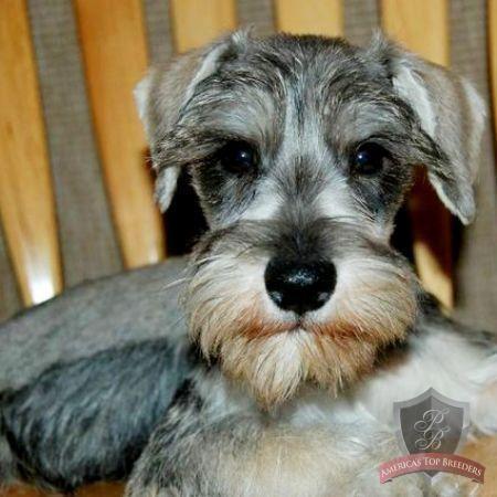 Schnauzer Puppy Riley Miniature Schnauzer Puppies Schnauzer Puppy Schnauzer
