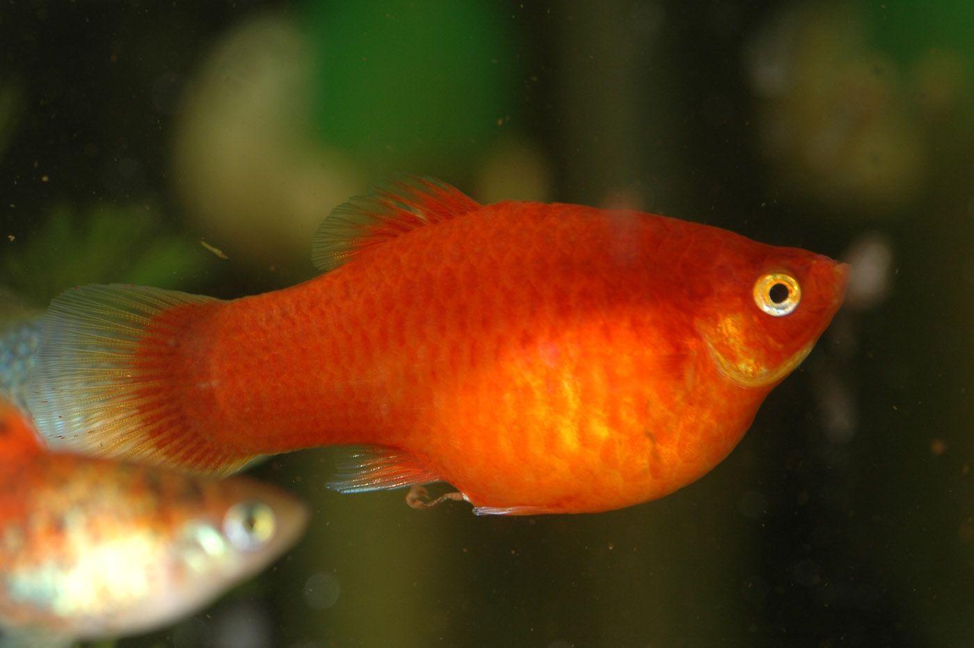 Keeping and Breeding Platies (Xiphophorus sp.) | Fish: Freshwater ...