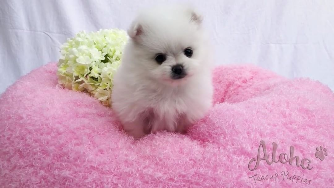 Pin By Paula Riddlebaugh On Pomeranian Cute Teacup Puppies