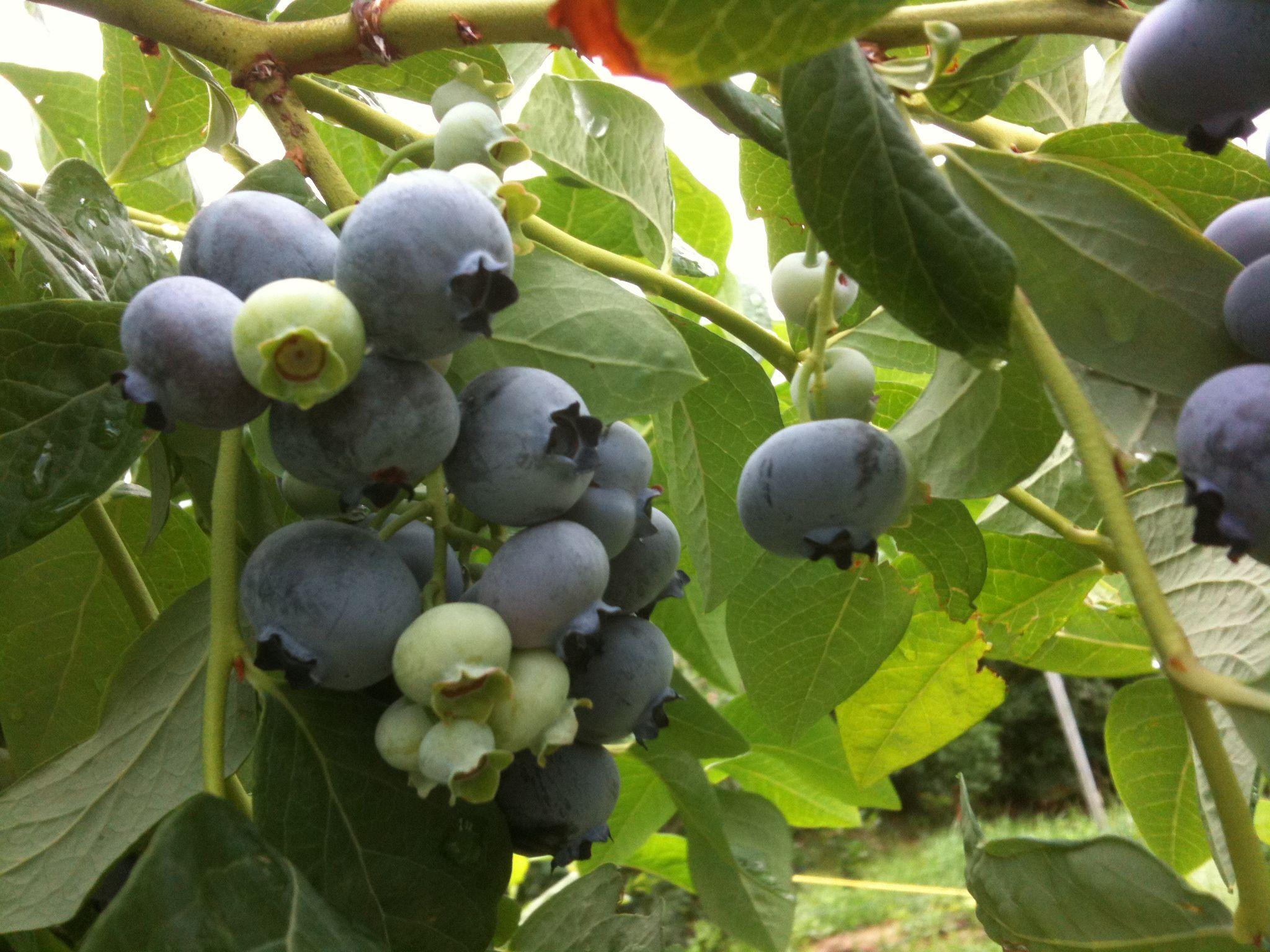Blueberry season picking and freezing blueberry