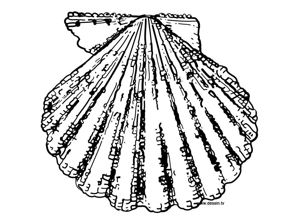 Epingle Par Virginie Massot Sur Rocks Shells For Mike Coloriage Coquille Saint Jacques Coquille