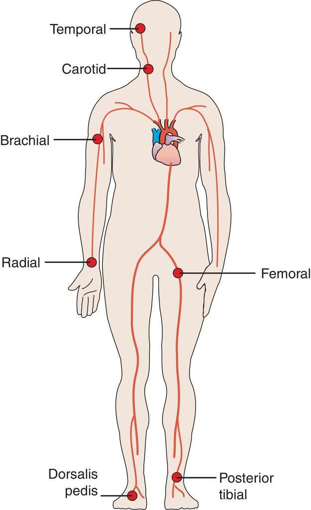 foot pulses diagram 1989 toyota pickup wiring diagrams pin by emma on human body pinterest medical and pulse points
