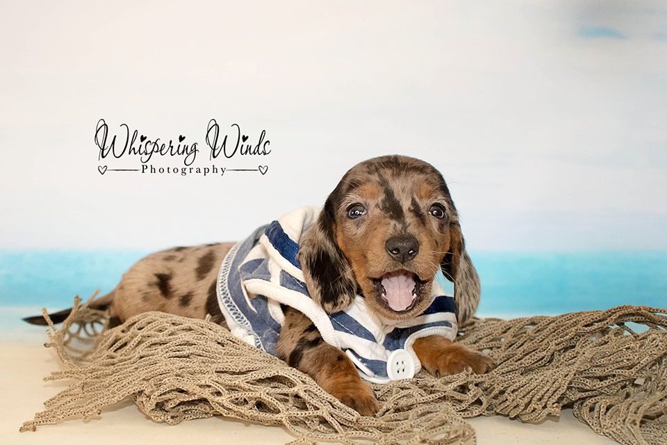 Dachshund Puppies For Sale Wisconsin 2021