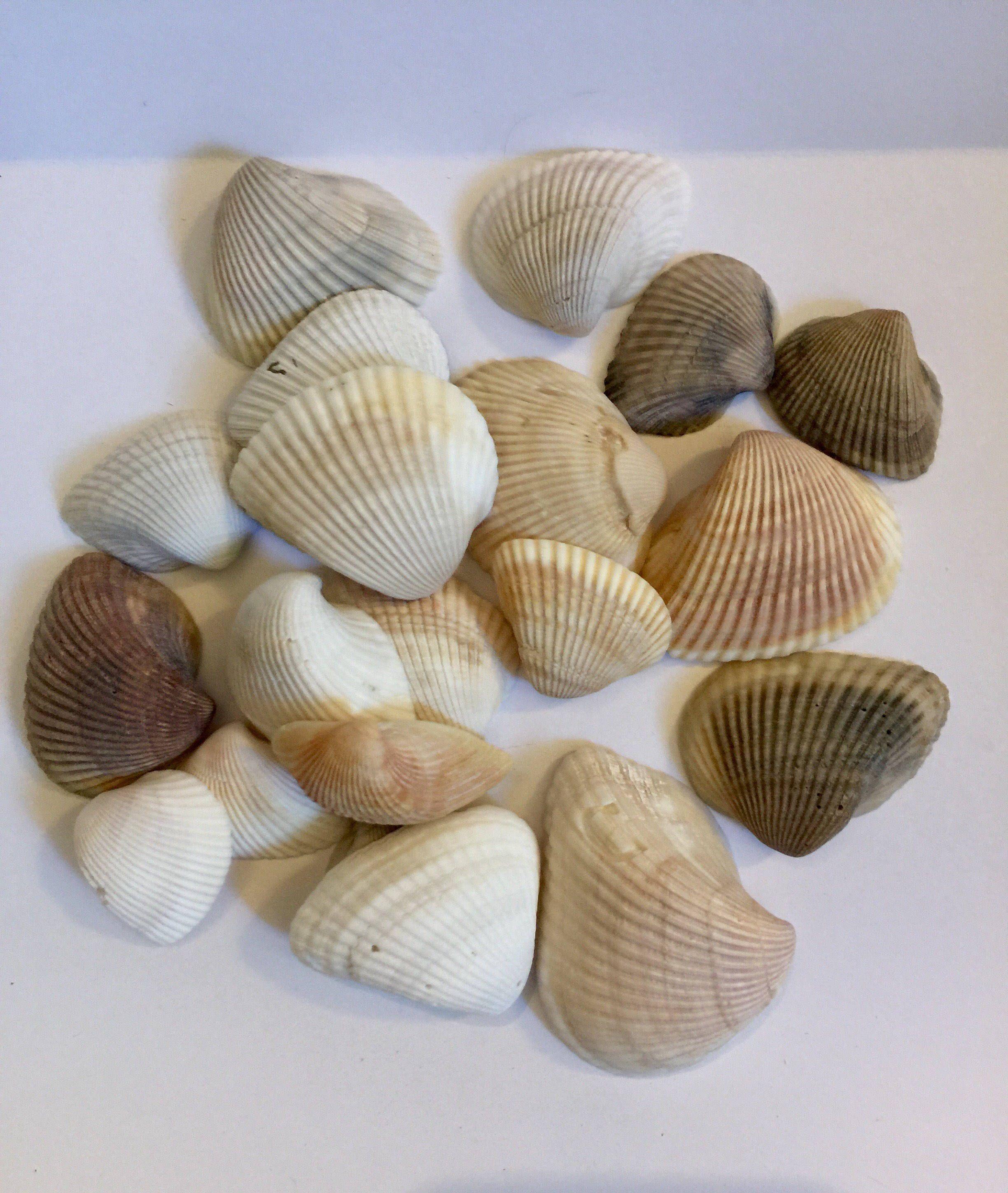 Seashells Wholesale Shells Wholesale Sea Shells Wholesale Craft Shells Seashell Decor Shells For Decoration Bulk Seashells Sea Shell Decor Seashell Crafts Sea Shells