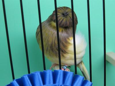 كــناري جلوستر مقنبر Gloster Corona Animals Canary Bird