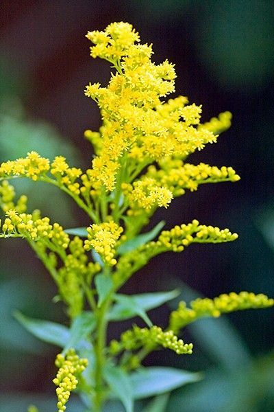 Pin By Mary Pawlicki On Single Flowers Yellow Flowers Names Goldenrod Flower Yellow Flowers