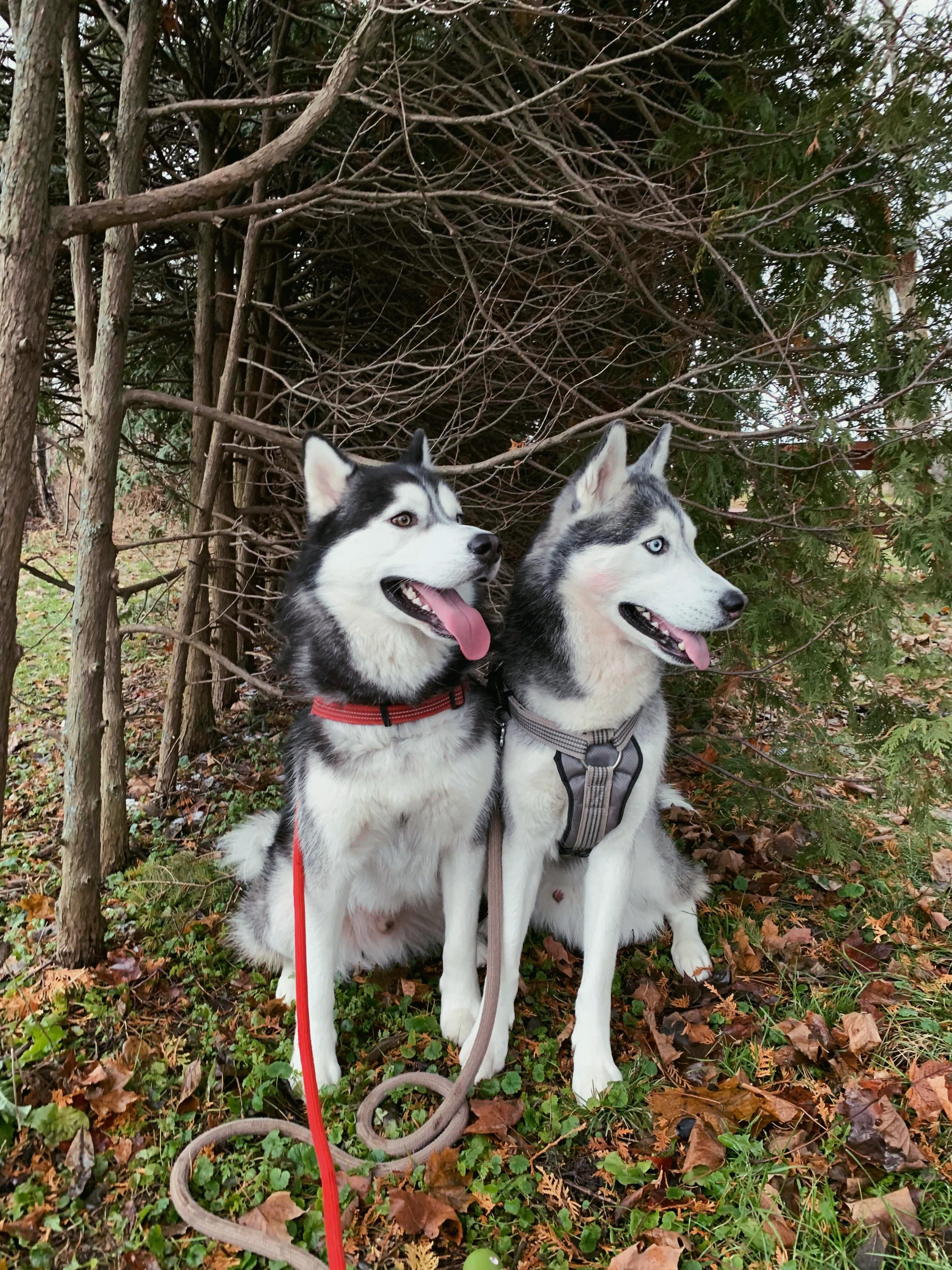 Pin By Kelley Pets On Siberian Husky Husky Siberian Husky Siberian