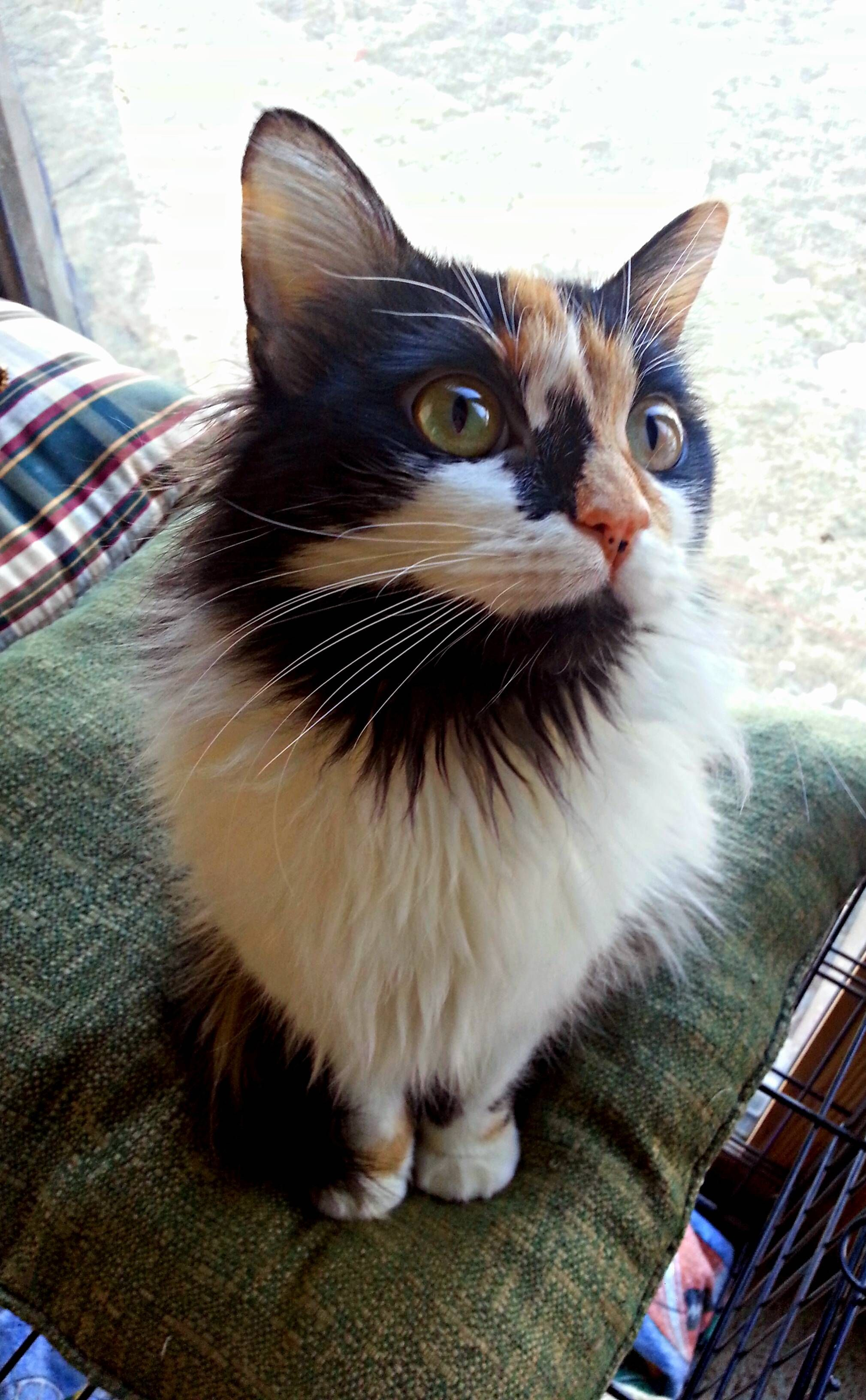 lovely calico cat........click here to find out more