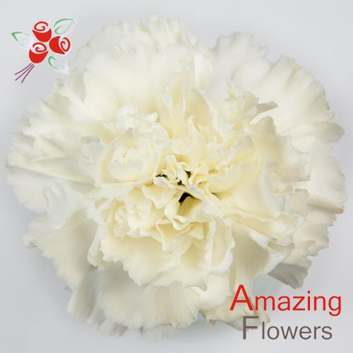 White Carnation Moonlight Amazingflowersusa Com White Carnation Carnation Flower Carnations