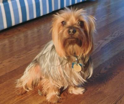 Silky Terrier Had A Chocolate Silky Terrier Named Charlie Loved