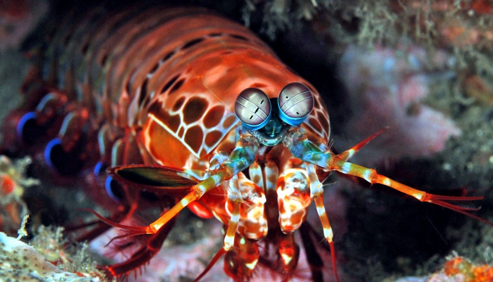 Image result for pistol shrimp Mantis shrimp, Ocean