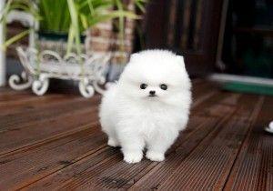 Teacup Pomeranian Puppies Avaialble Apopka Fl Asnclassifieds Pomeranian Dog Pomeranian Puppy Teacup