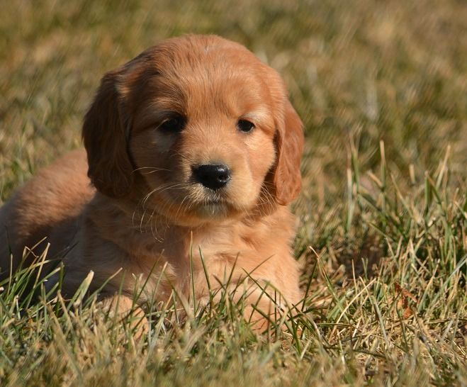 Puppies Available At Pets In The Country Dog Breeder Puppies