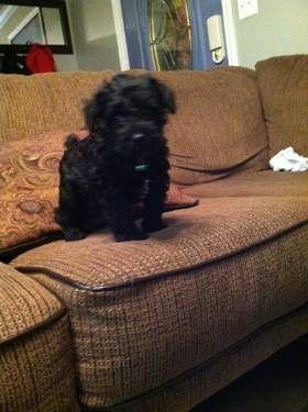 Black Miniature Schnoodle Puppy Fluffy Adorable Miniature Schnoodle Schnoodle Puppy Schnoodle