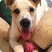 Adopt A Pet Stone Dallas Ga Dog Adoption Great Dane Mix
