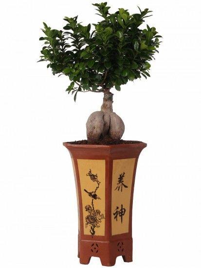 vaso per bonsai ficus ginseng