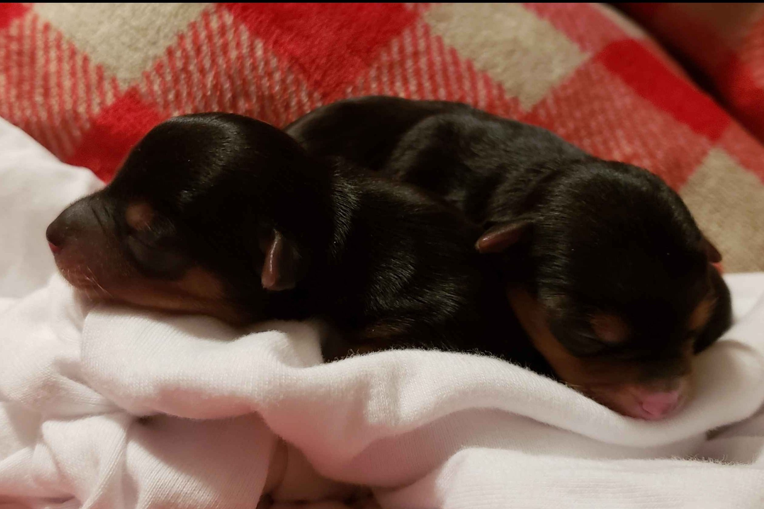 Fantasias Yorkies Yorkshire Terrier Puppies For Sale
