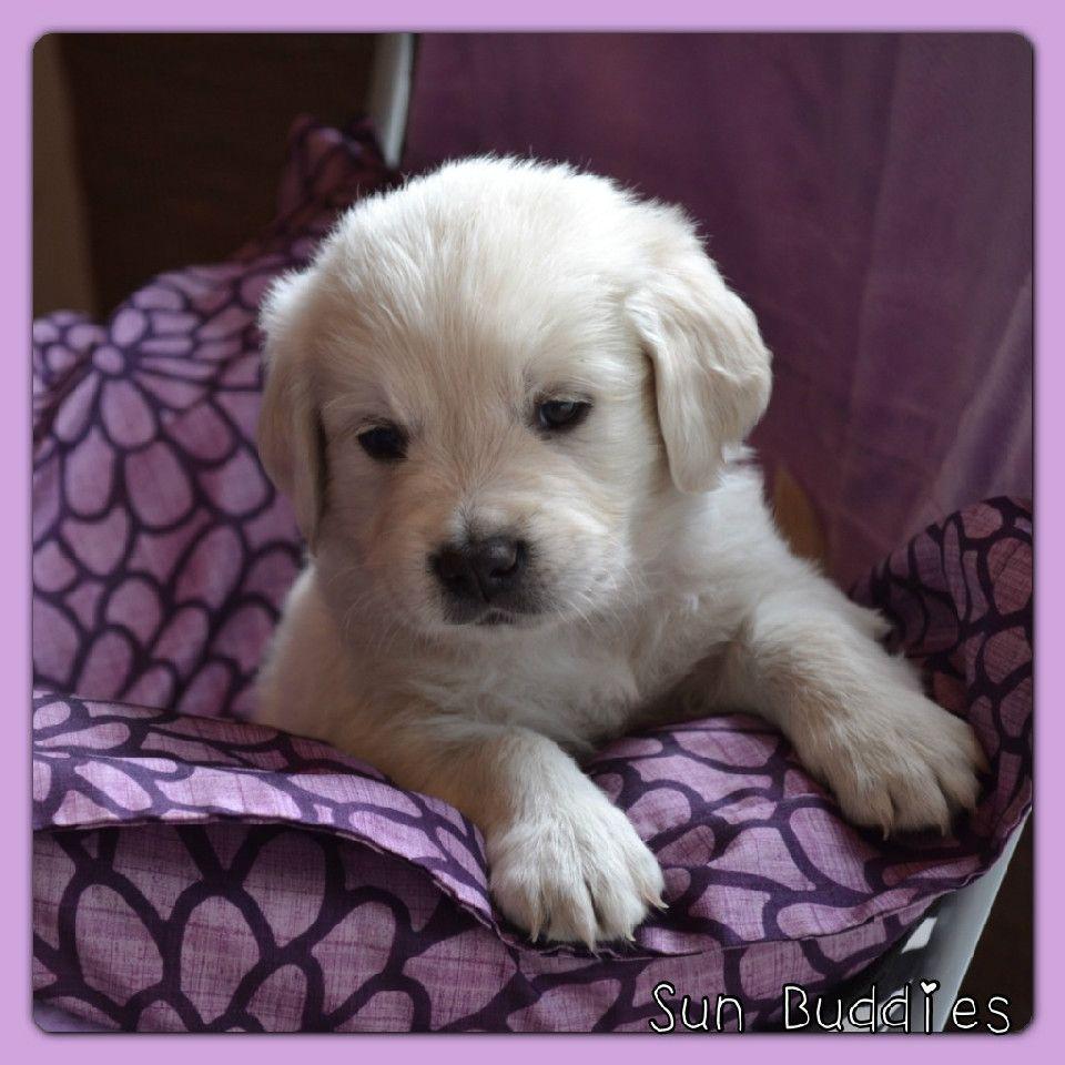 Available English Cream Golden Retriever Puppies Dogs Puppies Golden Retriever
