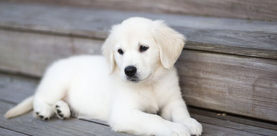 English Cream Golden Retriever Puppies English Golden Retrievers