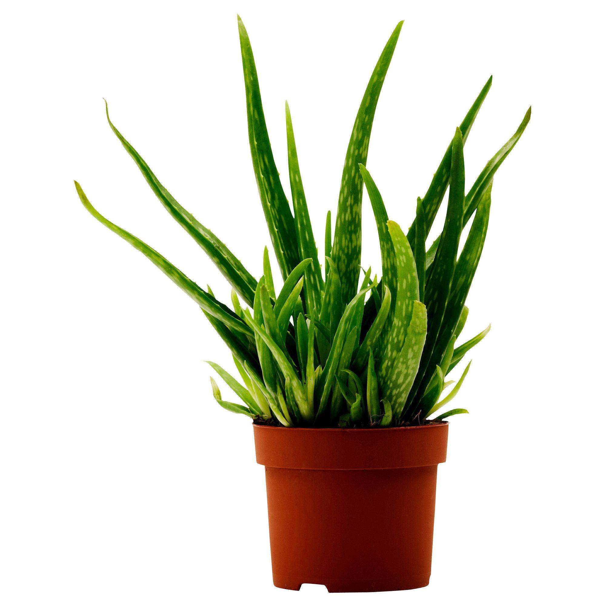 Aloe vera plante en pot ikea plantes fleurs for Plante aloe vera chambre