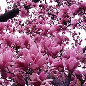 Ann Or Jane Saucer Magnolias Welcome Spring With Large Blooms In Shades Of Pink To Purple Plan Jane Magnolia Tree Magnolia Trees For Sale Magnolia Trees
