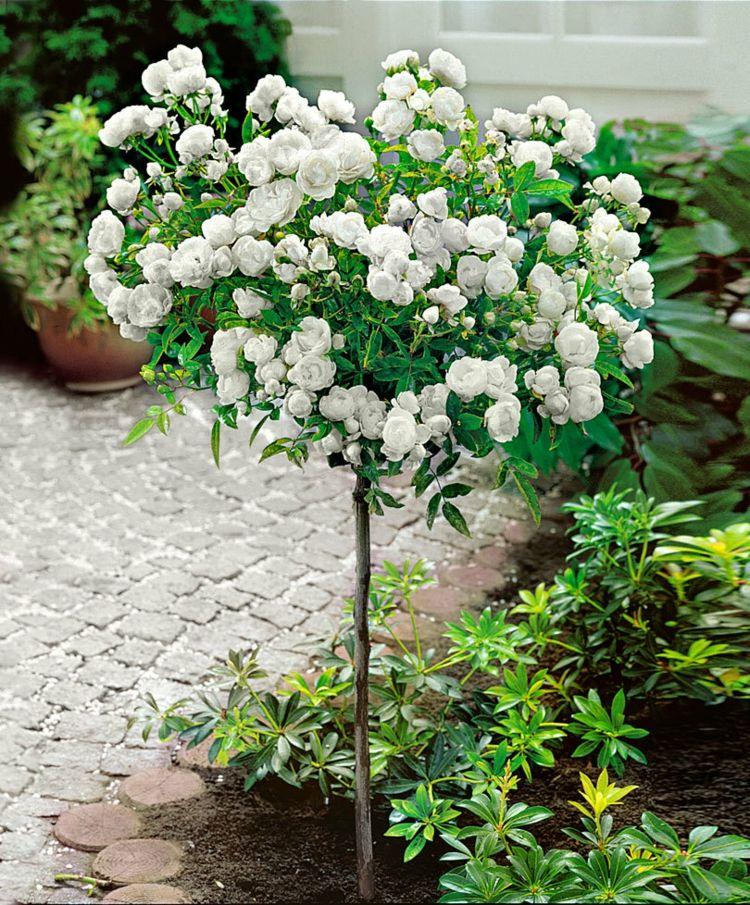 Halbstamm Gartenbeet Weiaÿe Mini Rosen Rosenba Umchen Bluhende Pflanzen Pflanzen Hochstammrosen