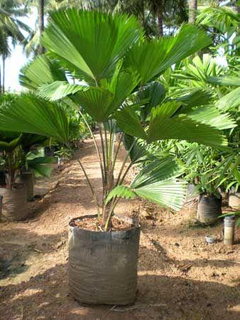 Tipos de palmas diferentes tipos de palmeras plantas for Plantas de interior tipo palmera