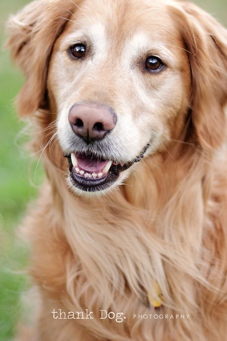 I Love Goldens With White Faces Looks Like My Kayce Girl Dog