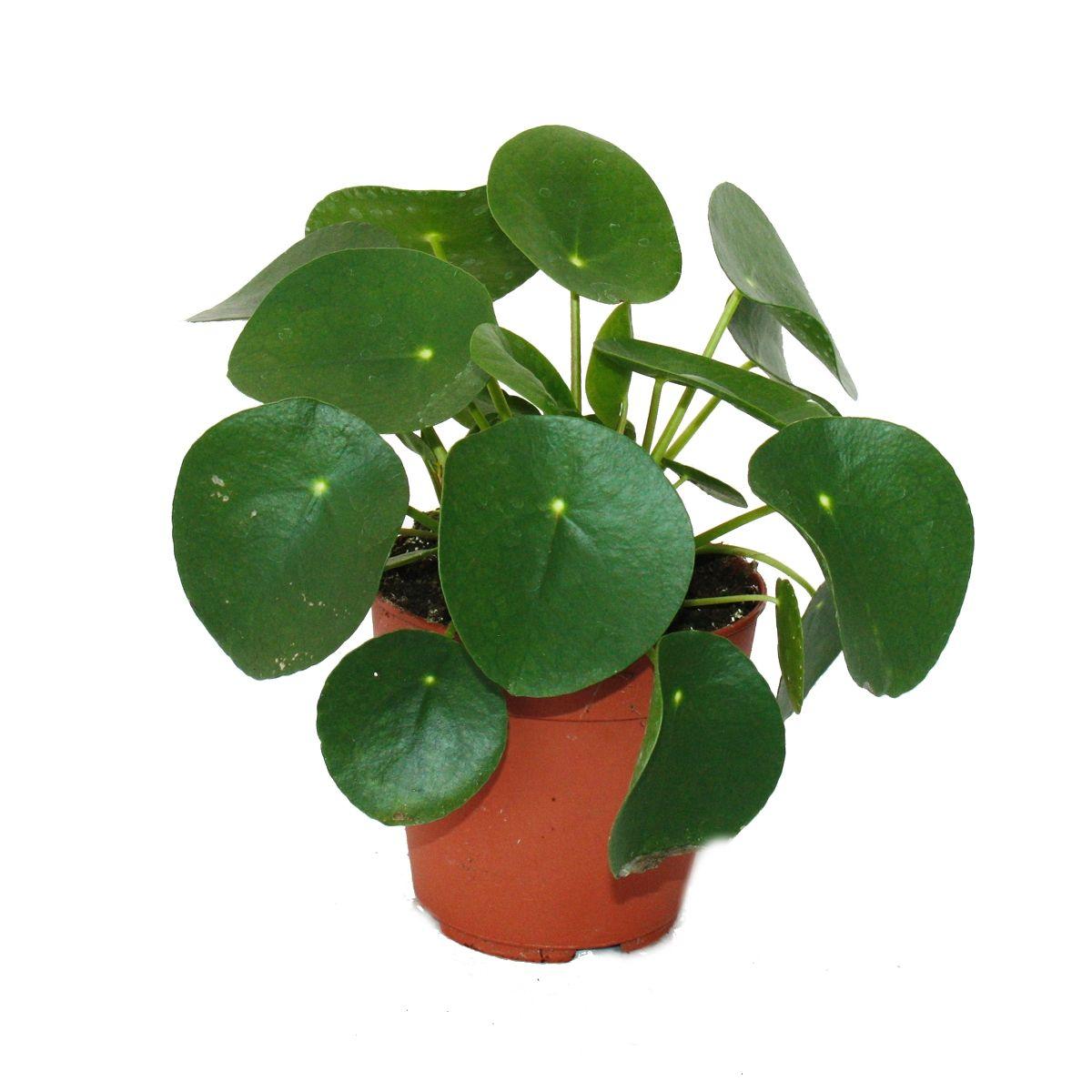 pilea peperomioides gl ckstaler chinesischer geldbaum bauchnabelpflanze im 12cm topf. Black Bedroom Furniture Sets. Home Design Ideas