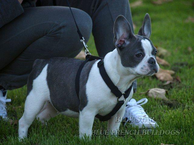 Blue And White French Bulldog Photo Happy Dog Heaven White