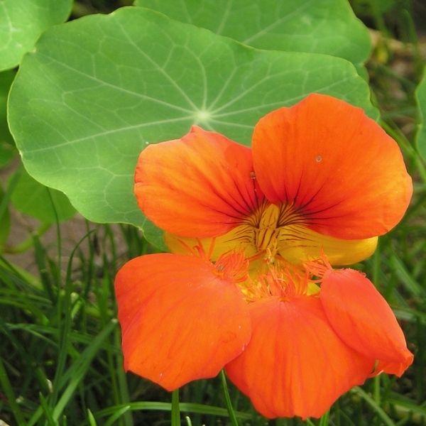 Jadalne Kwiaty Z Ogrodu Artykuly Hibiscus Plant Plants Flowers