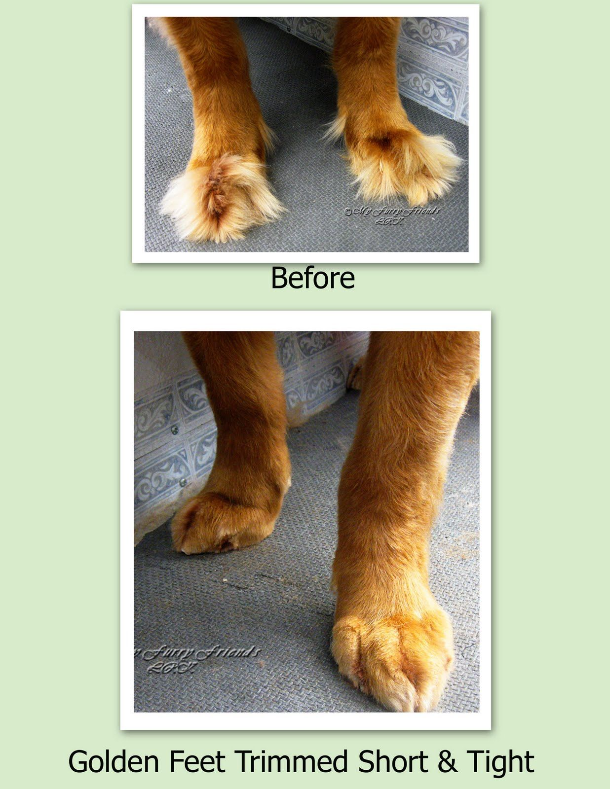 Tuesday S Tip 21 Trimming Feet Dog Groomers Golden Retriever
