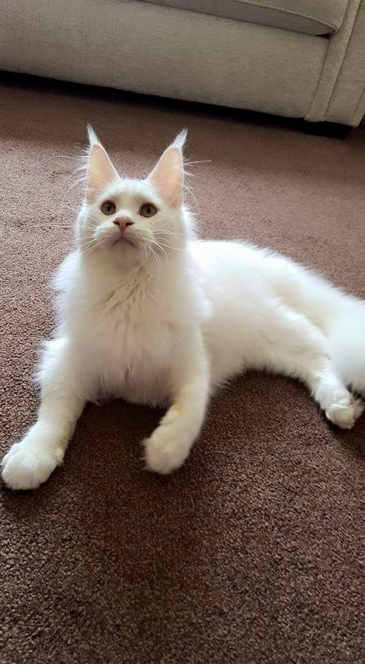 75534b2671 Most Popular Long Haired Cat Breeds - Samoreals. Turkish Van. Turkish Van  Turkish Van Cats