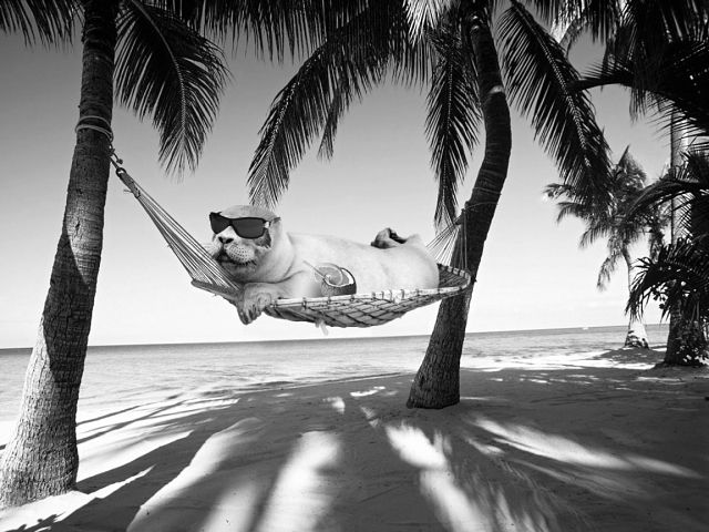 Seal in a hammock and sunglasses... how can this be a photoshop?