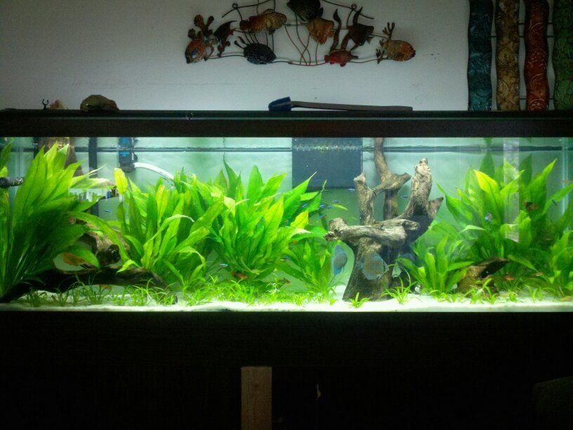 125 gallon with pool filter sand and lots of sword plants for Fish tank sand