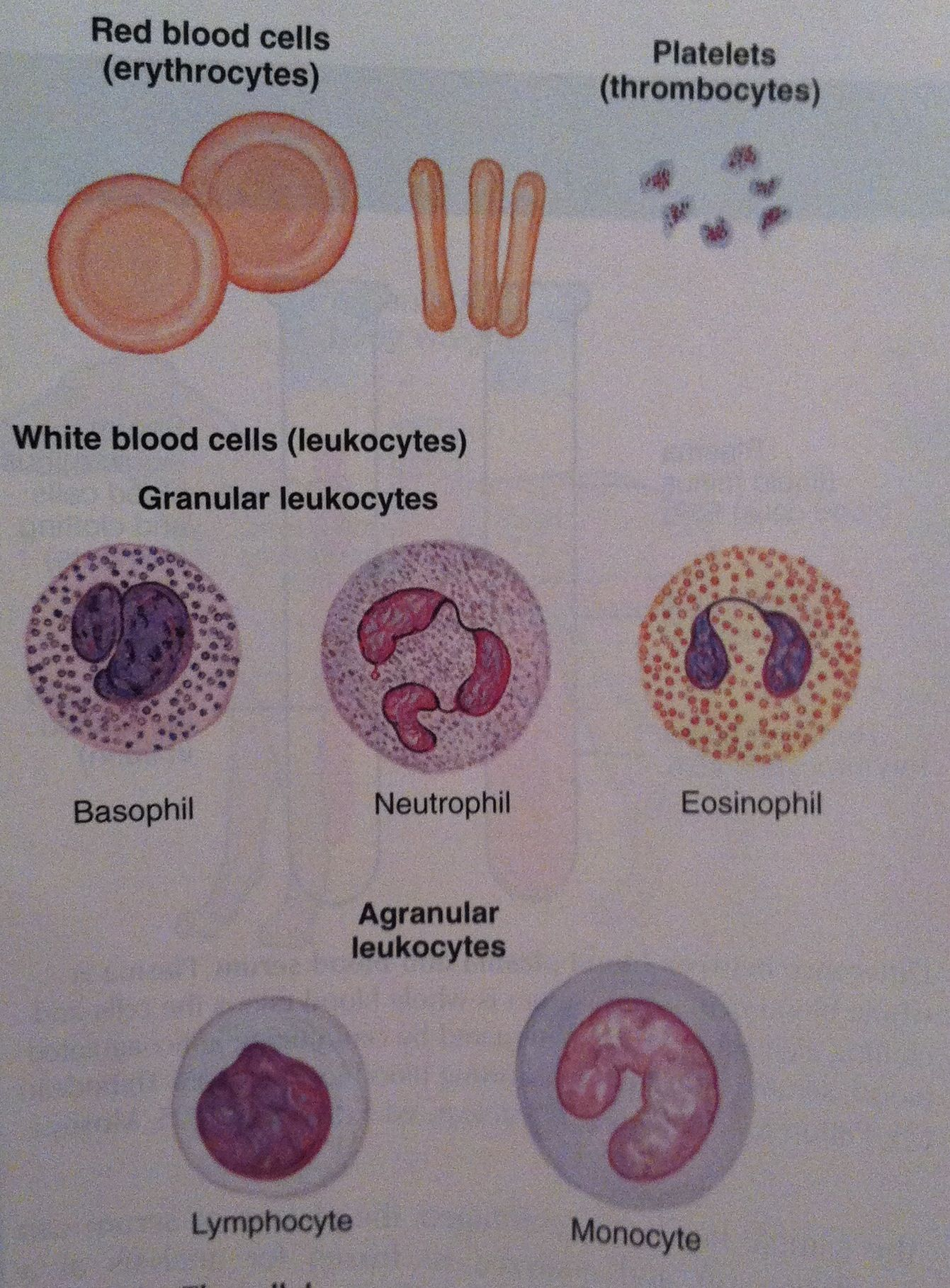 Blood Cell Components Blood Cell Smear From Colville And