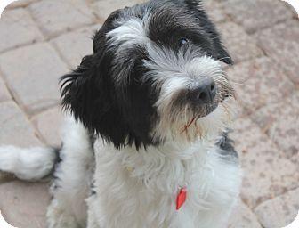 Phoenix Az English Sheepdog Cocker Spaniel Mix Meet Theo A Dog
