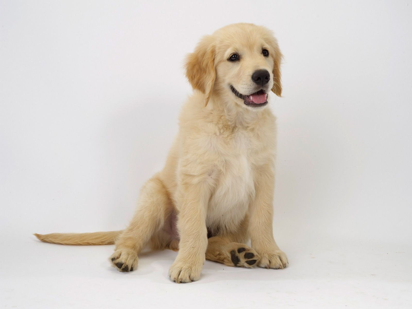 Golden Retriever Additional Info Temperament The Golden Retriever