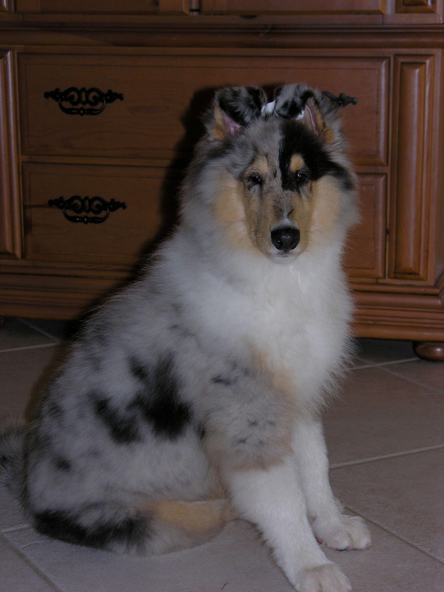 Sydney 13 Wks Old My Beautiful Boy Rough Blue Merle Collie Blue Merle Collie Shetland Sheepdog Shetland Sheepdog Puppies