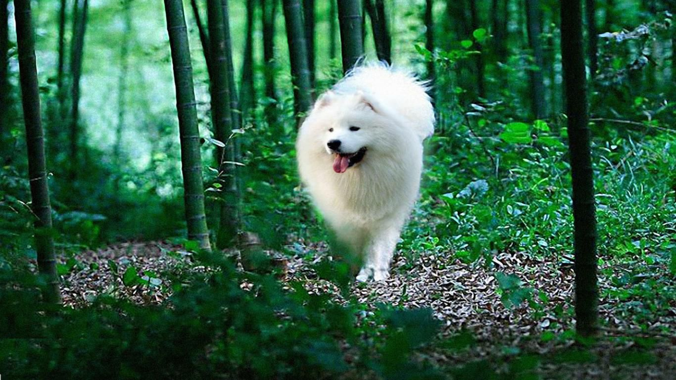 Samoyed Dog Photo Hd Samoyed Dog 1440x900 Download Free Widescreen Hd Samoyed Dog Samoyed Dogs Samoyed Companion Dog