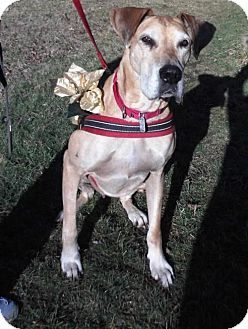 Phoenixville Pa Great Dane Meet Storm A Dog For Adoption