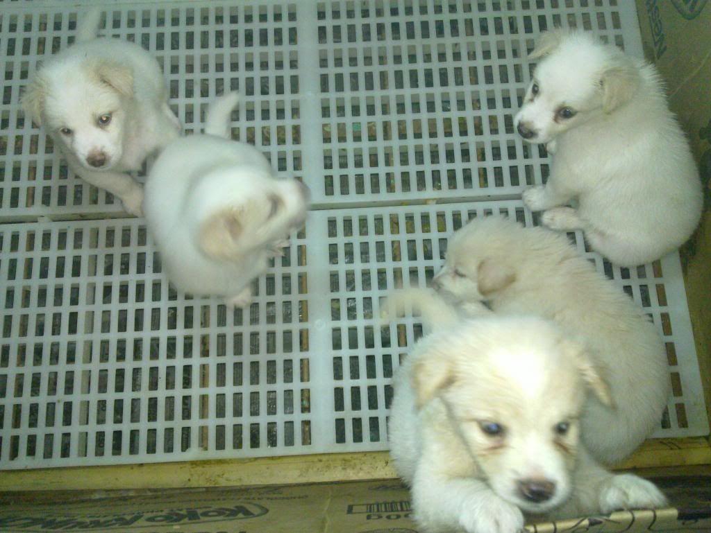 Terjual Jual Anak Anjing Kintamani Anak Anjing Anjing Anak