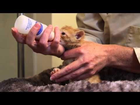 Orphaned Kitten Care How To Videos How To Bottle Feed An Orphaned Kitten Kitten Care Bottle Feeding Newborn Feeding Kittens